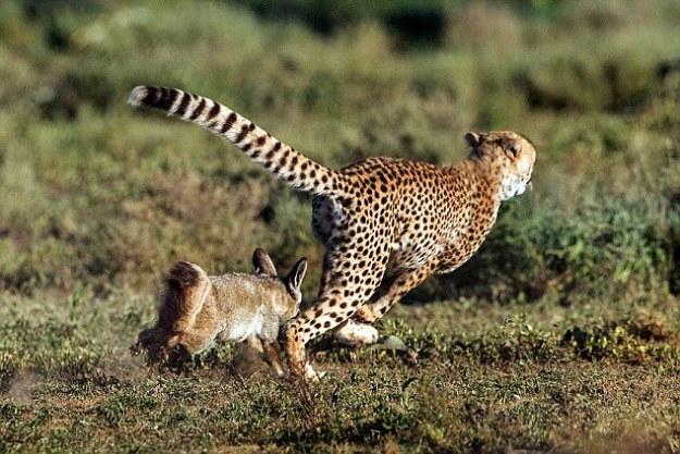 Outfoxed Cheetah
