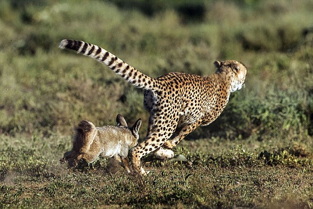 Outfoxed Cheetah