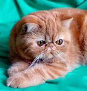 exotic-shorthair-cat107