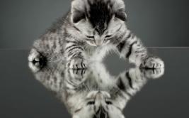 little-cat-on-mirror-wide