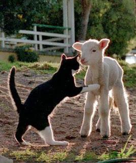 12 cat-lamb