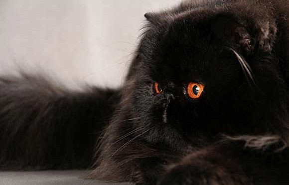 Black-Persian-Cat-1