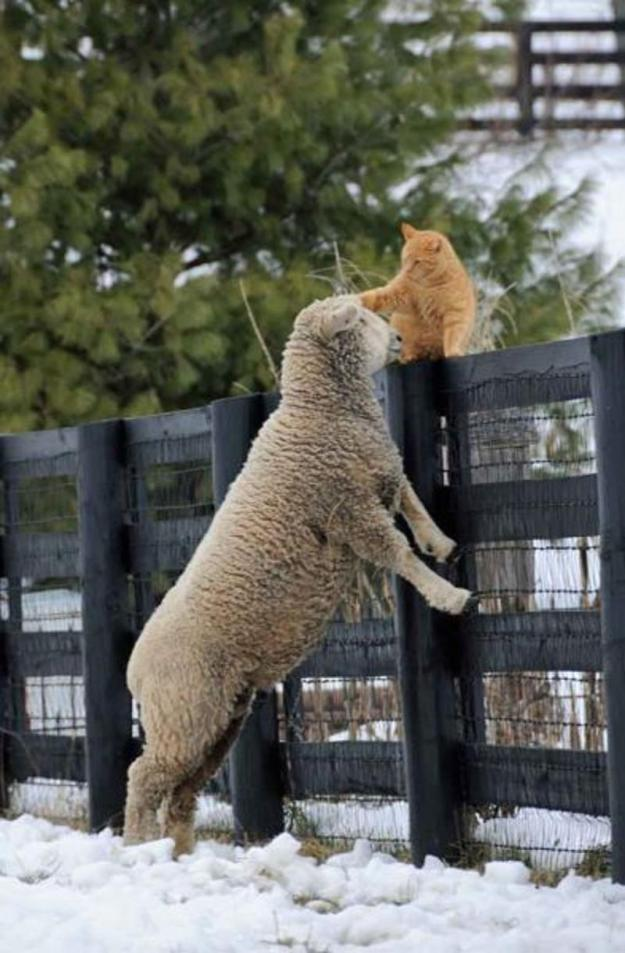 cat-sheep