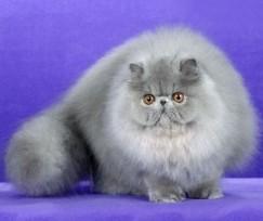 Персидская-кошка-300x253