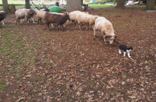 fascinating-animals-cute-funny-cat-sheep