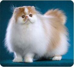 persian-cat-4