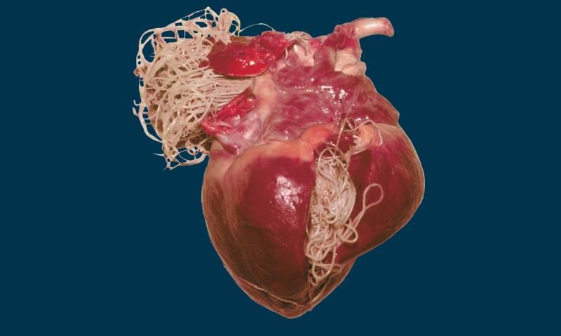 сердечные-глисты