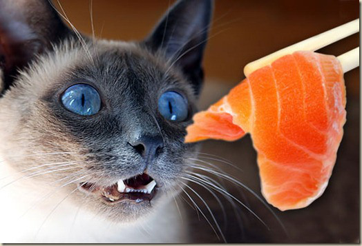 jiu_rf_photo_of_cat_eying_salmon_sushi_thumb