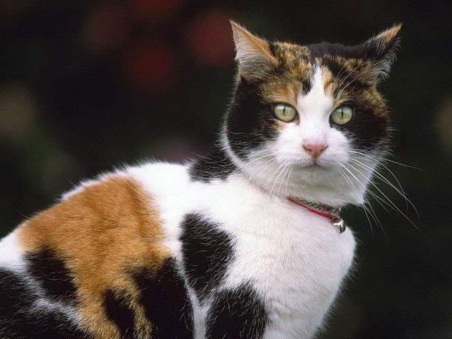 tricolor-cats_big