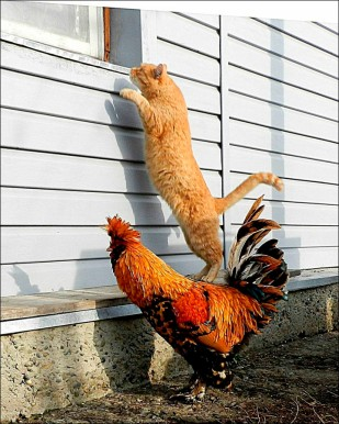inside_cat_stays_on_chiken