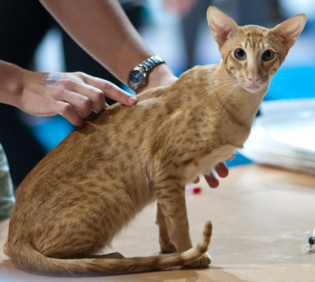 Oriental-Shorthair-Cat-3