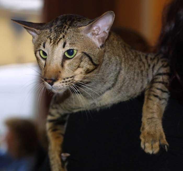 oriental-shorthair-cat-brown
