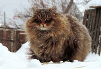siberian-cats_photo-alla-lebedeva101