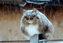 siberian-cats_photo-alla-lebedeva131