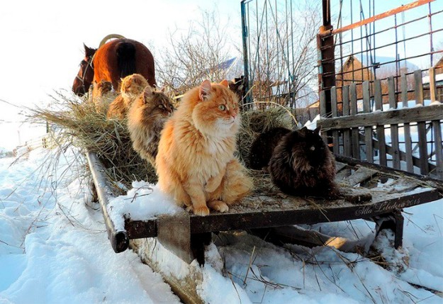 siberian-cats_photo-alla-lebedeva141