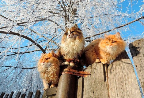 siberian-cats_photo-alla-lebedeva16
