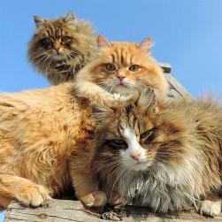 siberian-cats_photo-alla-lebedeva21