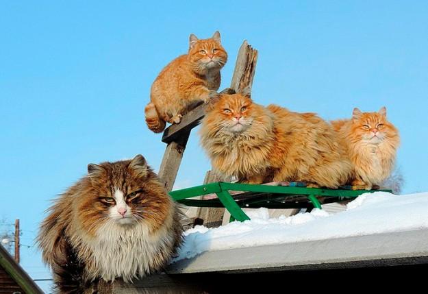 siberian-cats_photo-alla-lebedeva31