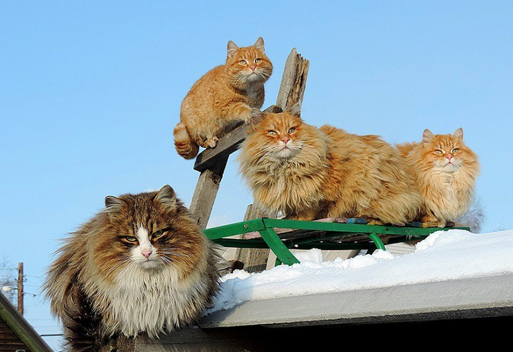 siberian-cats_photo-alla-lebedeva31