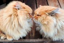 siberian-cats_photo-alla-lebedeva41