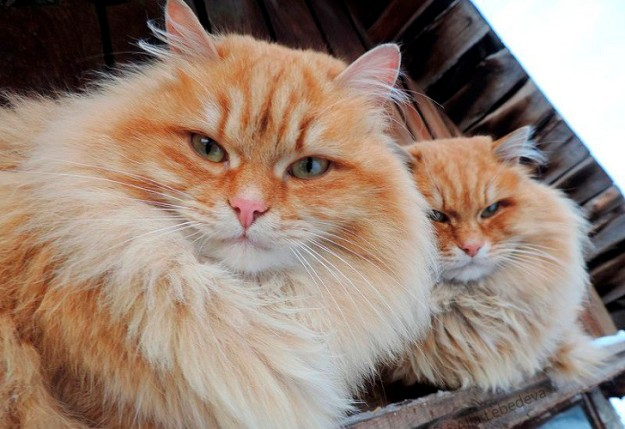 siberian-cats_photo-alla-lebedeva51