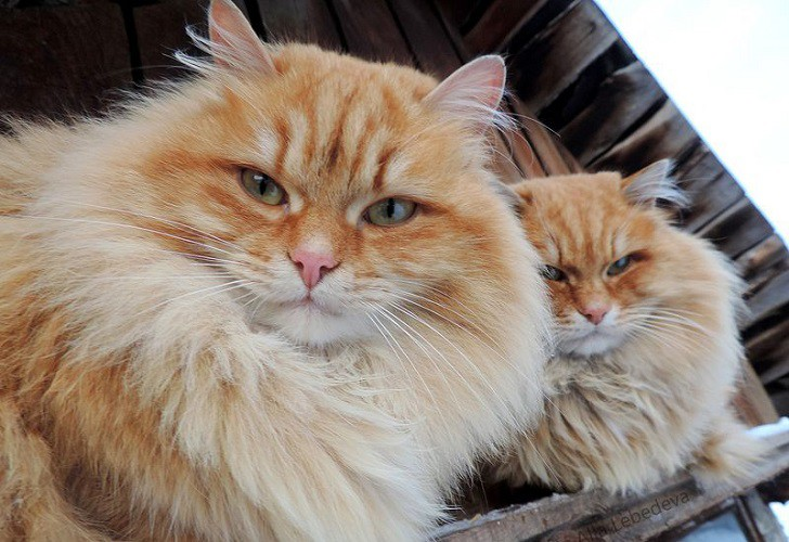 siberian-cats_photo-alla-lebedeva51