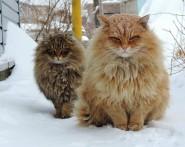 siberian-cats_photo-alla-lebedeva73