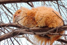 siberian-cats_photo-alla-lebedeva81