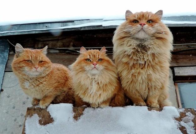 siberian-cats_photo-alla-lebedeva91