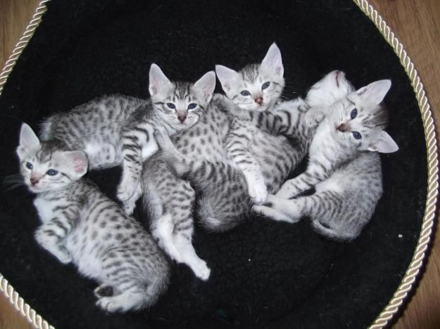 silver-spotted-egyptian-mau-kittens-519549540ba31