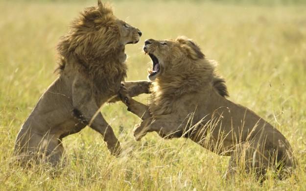 Драка львов