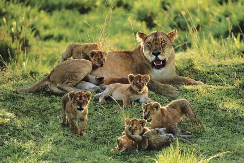 Львица и детёныши