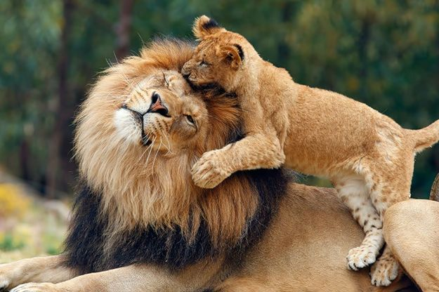 Львы и детёныши