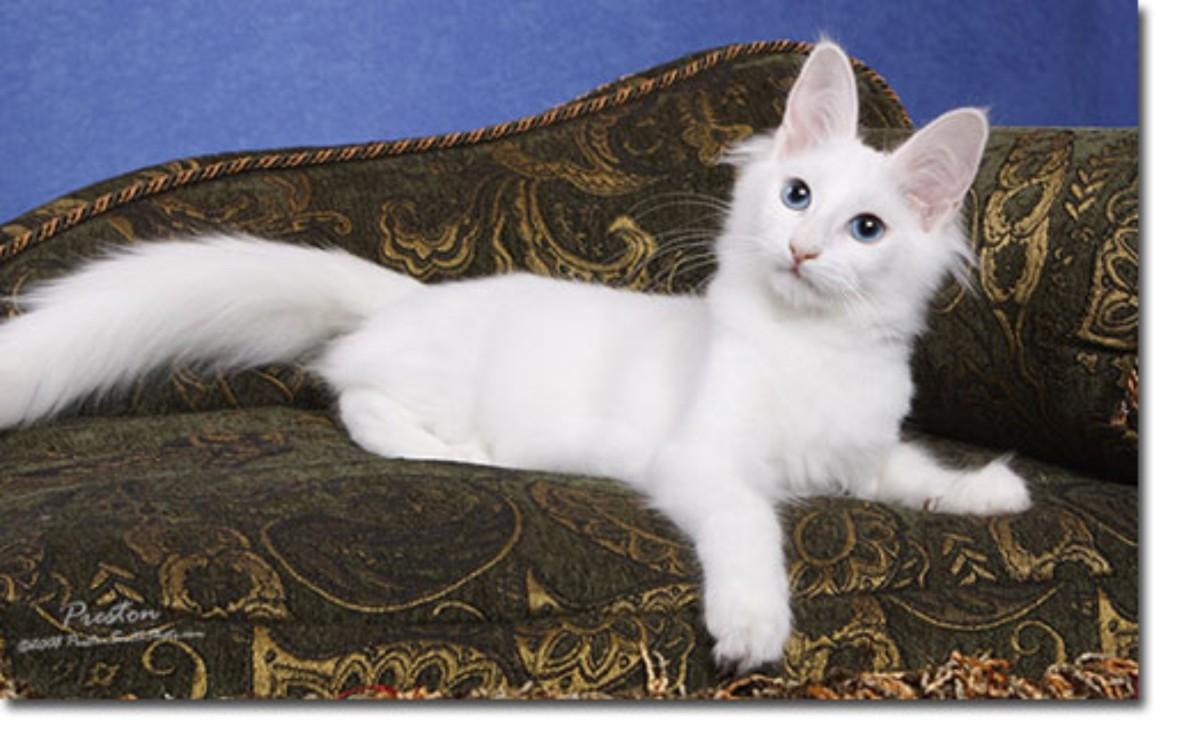 Три мифа об ангорских кошках