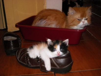 kitten-in-a-shoe-3