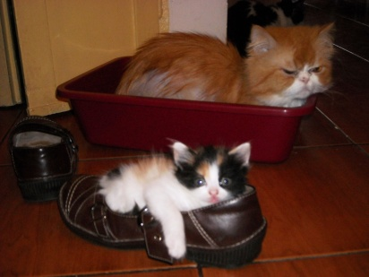 kitten-in-a-shoe-3