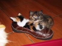 kitten-in-a-shoe-6