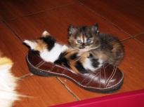 kitten-in-a-shoe-6