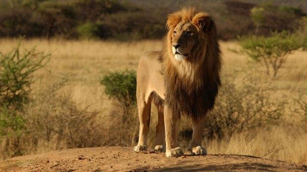 lev-v-savanne