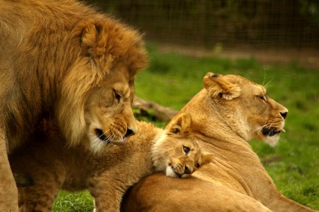 Lion_Family__by_TheSilverLotus