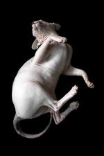 sphynx-cat-photos-by-alicia-rius-14