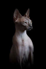 sphynx-cat-photos-by-alicia-rius-25