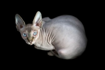 sphynx-cat-photos-by-alicia-rius-4
