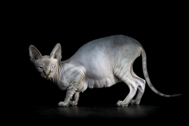 sphynx-cat-photos-by-alicia-rius-5