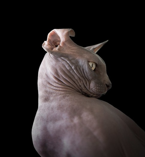 sphynx-cat-photos-by-alicia-rius-9