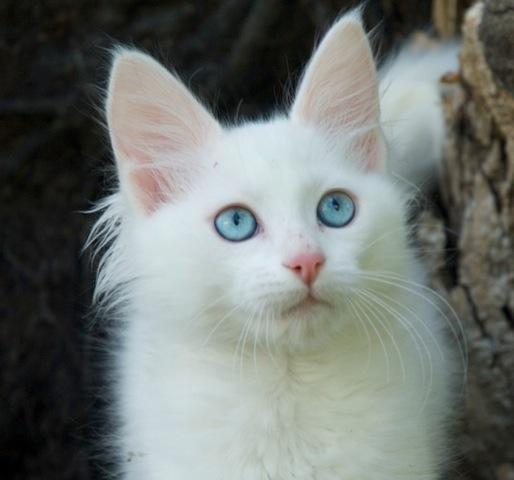turkish-angora-cat