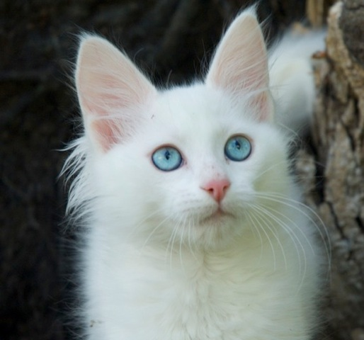 turkish-angora-cat