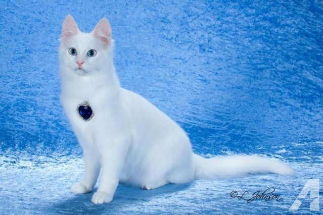 turkish-angora-female-retired-show-cat-americanlisted_37135363