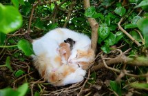 27.5.2015. Pictured in Fiona McGauley's back garden in Ardee is the cat who had its kittens in an empty birds nest 8 feet off the ground. The stray cat had her 4 kittens in amongst ivy branches and leaves. Picture Ciara Wilkinson