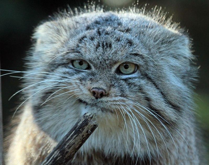 pallas-cat-manul-6__880 (1)